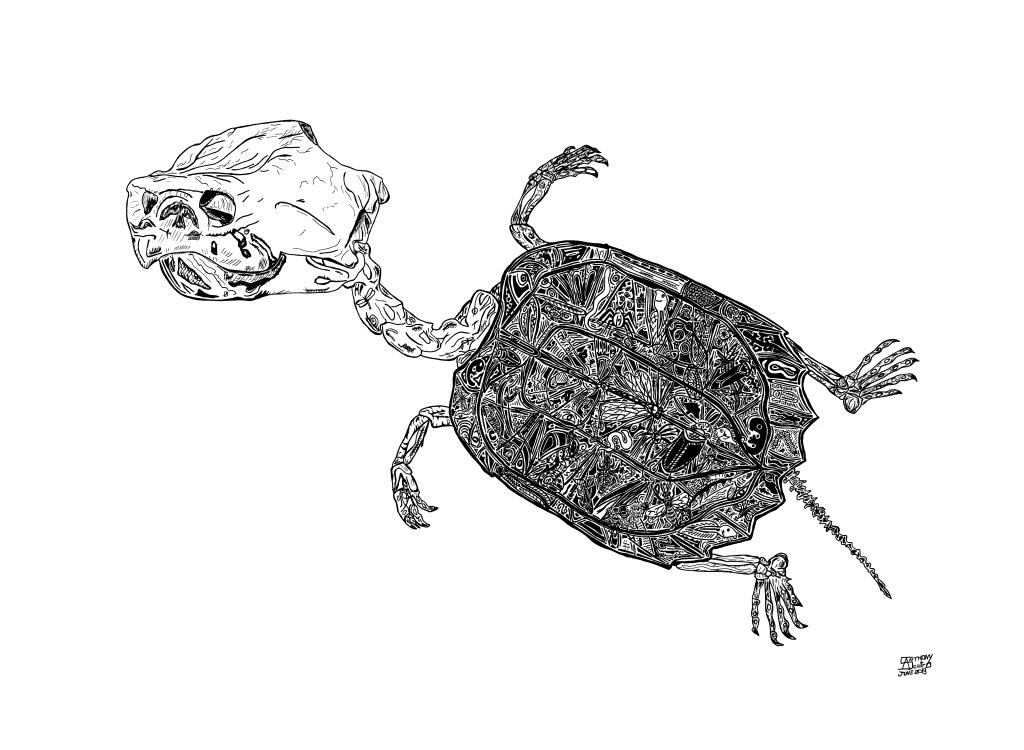 Snapper Turtle Skeleton illustration